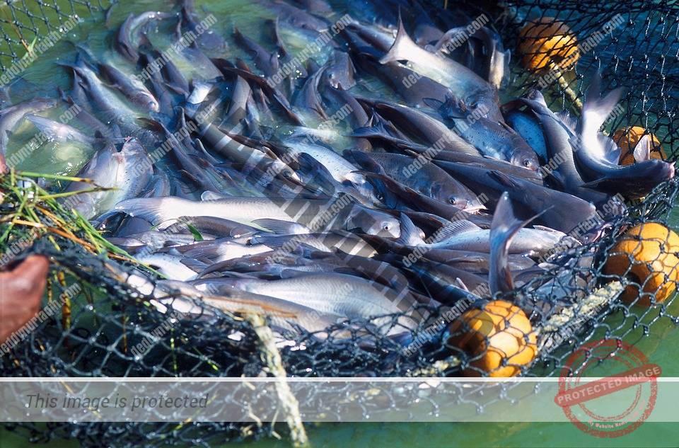 Cara Memasak Ikan Gabus Yang Enak